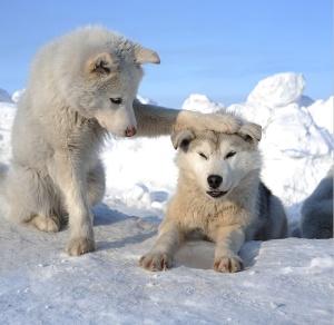 white-wolf-pups